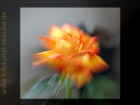Rose, alte Fotosünden